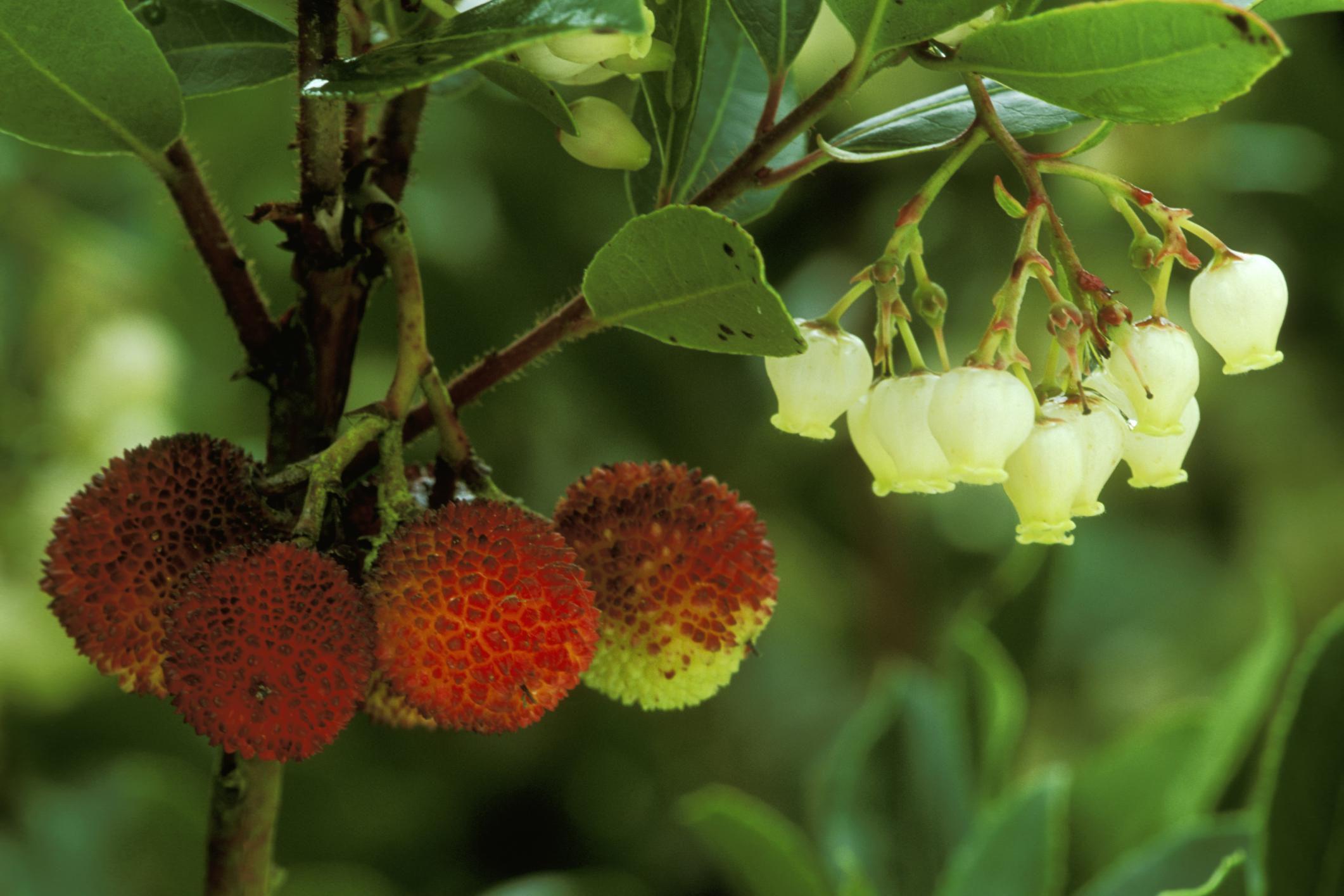 Growing the Strawberry TreeArbutus unedo