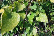 Growing Netleaf Hackberry In Garden