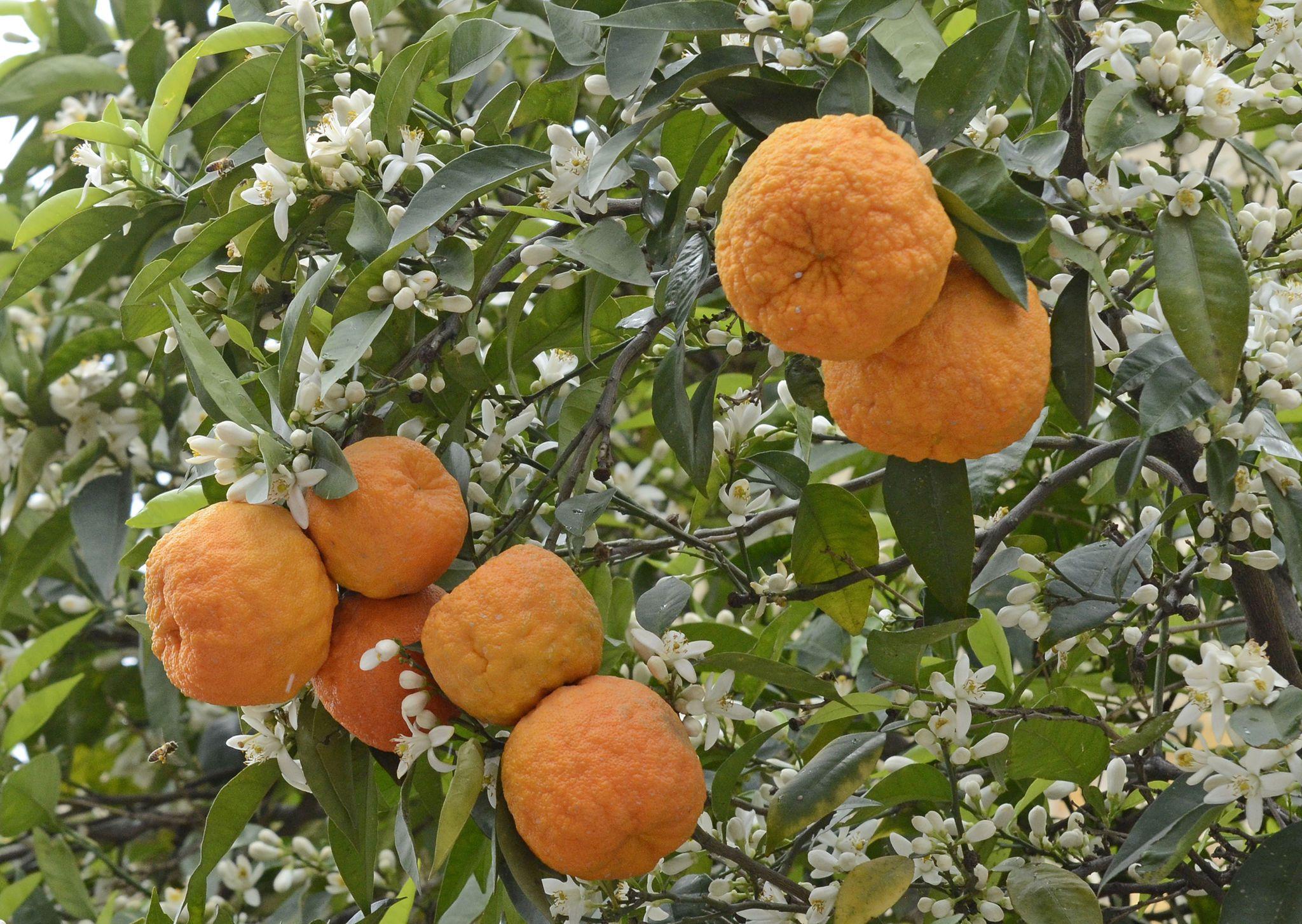Mojo Criollo  Sour Orange Marinade Recipe