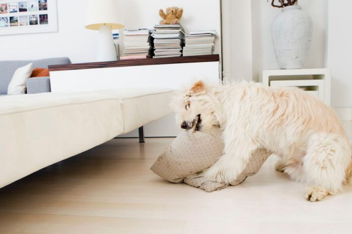 Dog chewing pillow