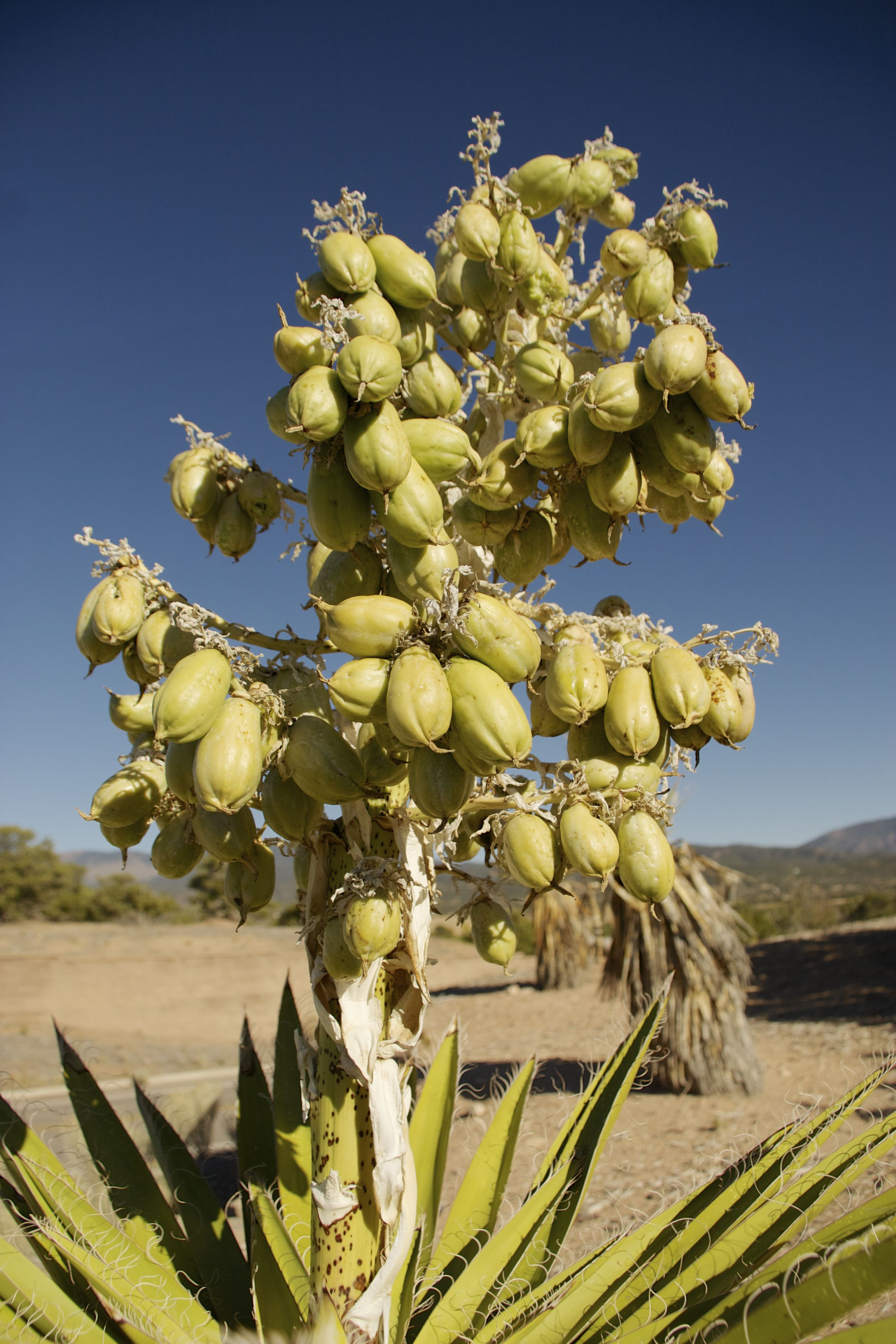 The Edible Fruit of Banana Yucca aka Yucca baccata