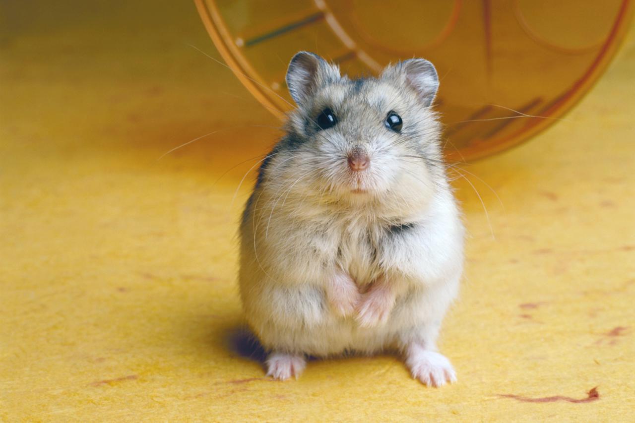 Do Hamsters Bite