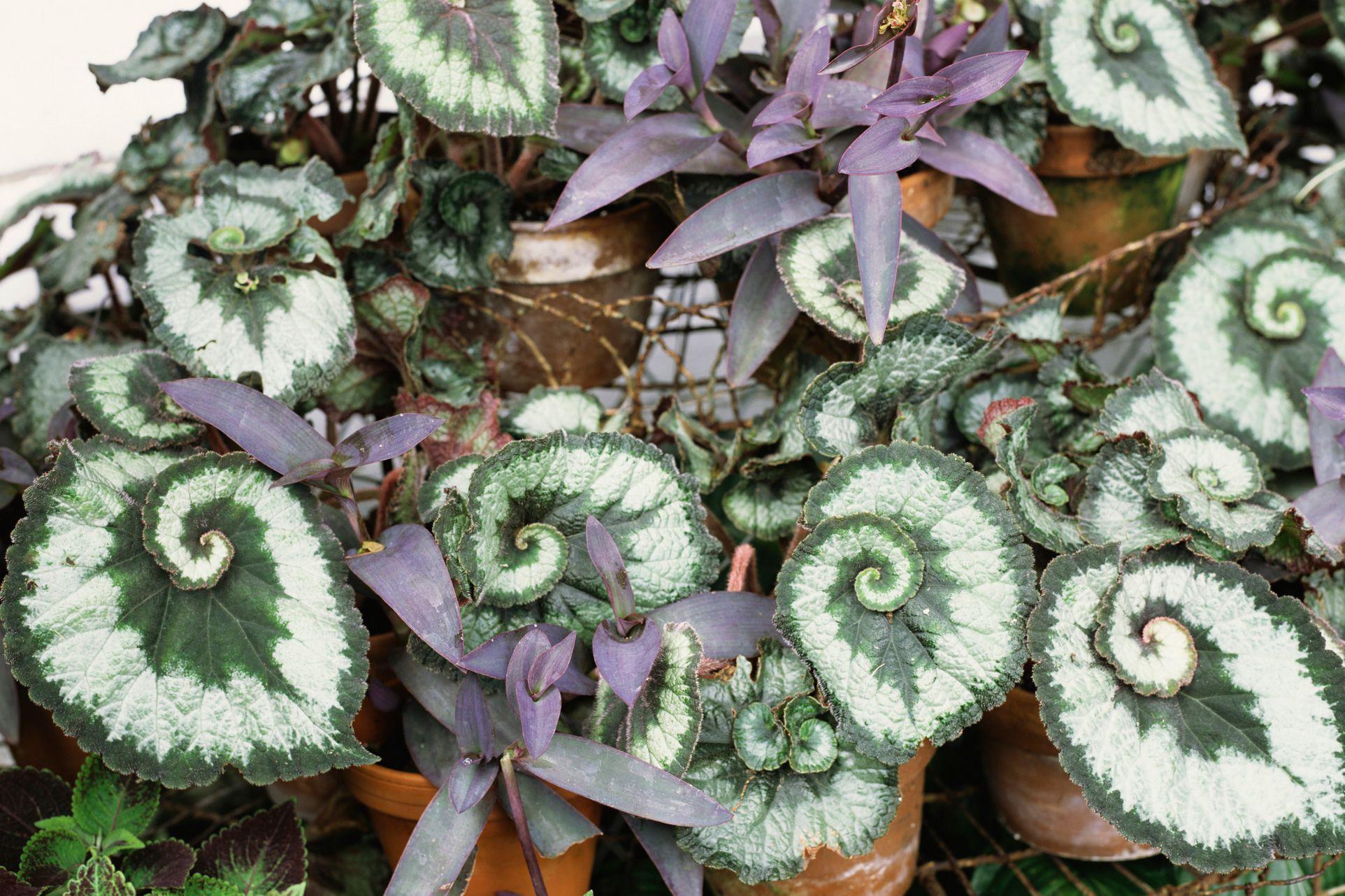 Rex Begonias  Growing the Striking Foliage Plants