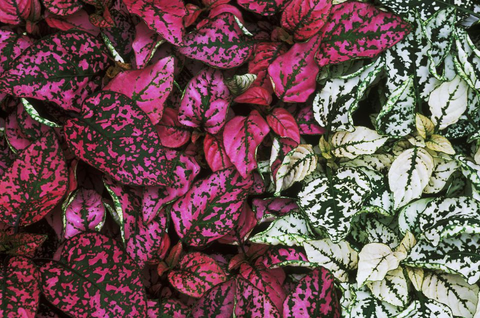 Growing Polka Dot Plants Indoors