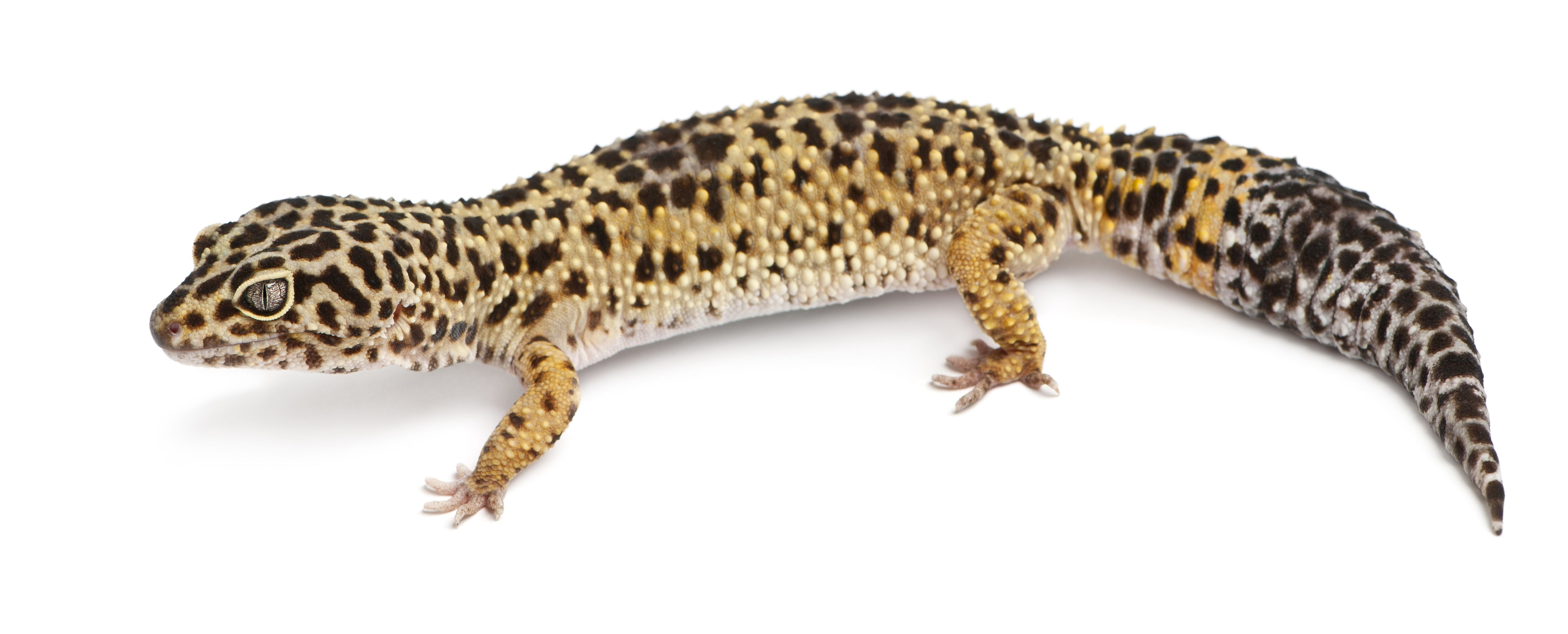 How To Tell If Your Leopard Gecko Is Fat