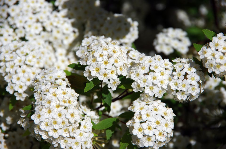 Small white flowering bush that blooms in spring with flowers mightylinksfo