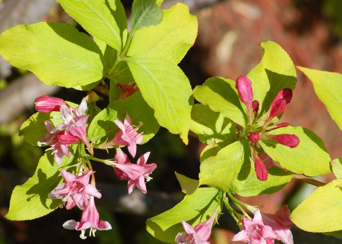 Care Growing Information For Weigela Bushes
