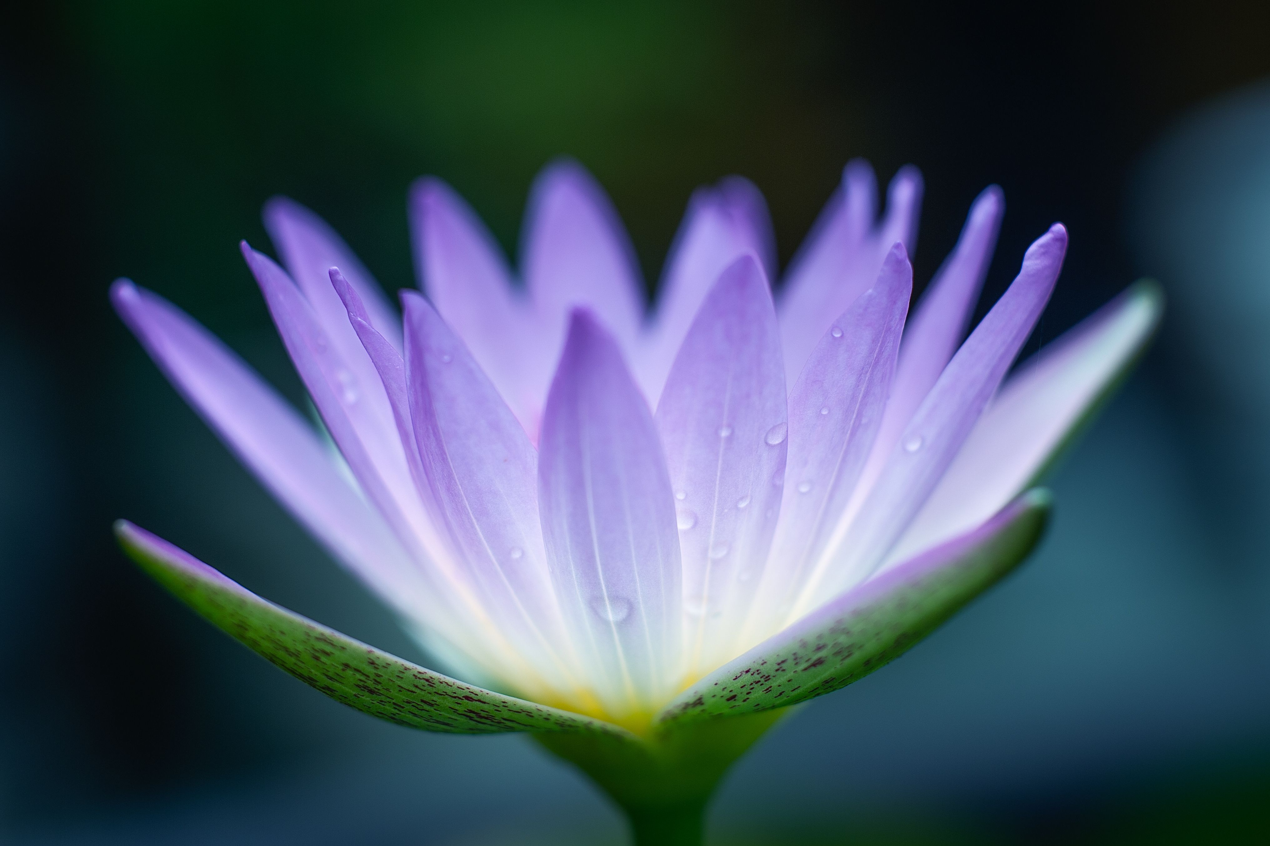 Osho Hd Wallpaper The Many Symbolic Meanings Of The Lotus In Buddhism