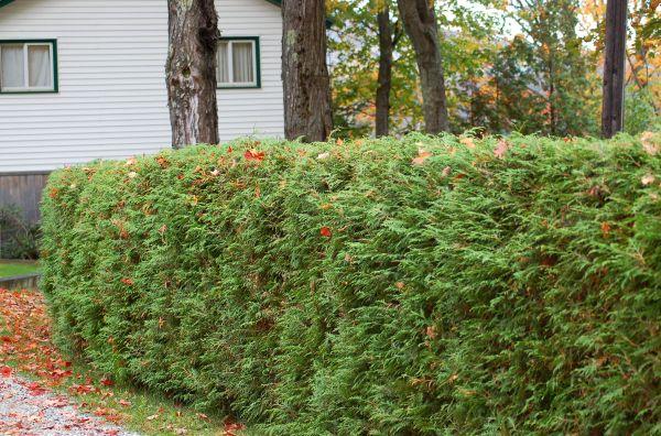 living privacy fences shrub
