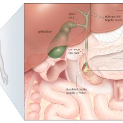 Where Is Your Gallbladder Diagram Goodman Electric Heat Wiring Acute Cholangitis Symptoms And Treatment