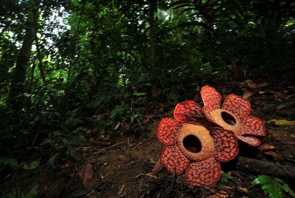 Image result for rafflesia royal belum