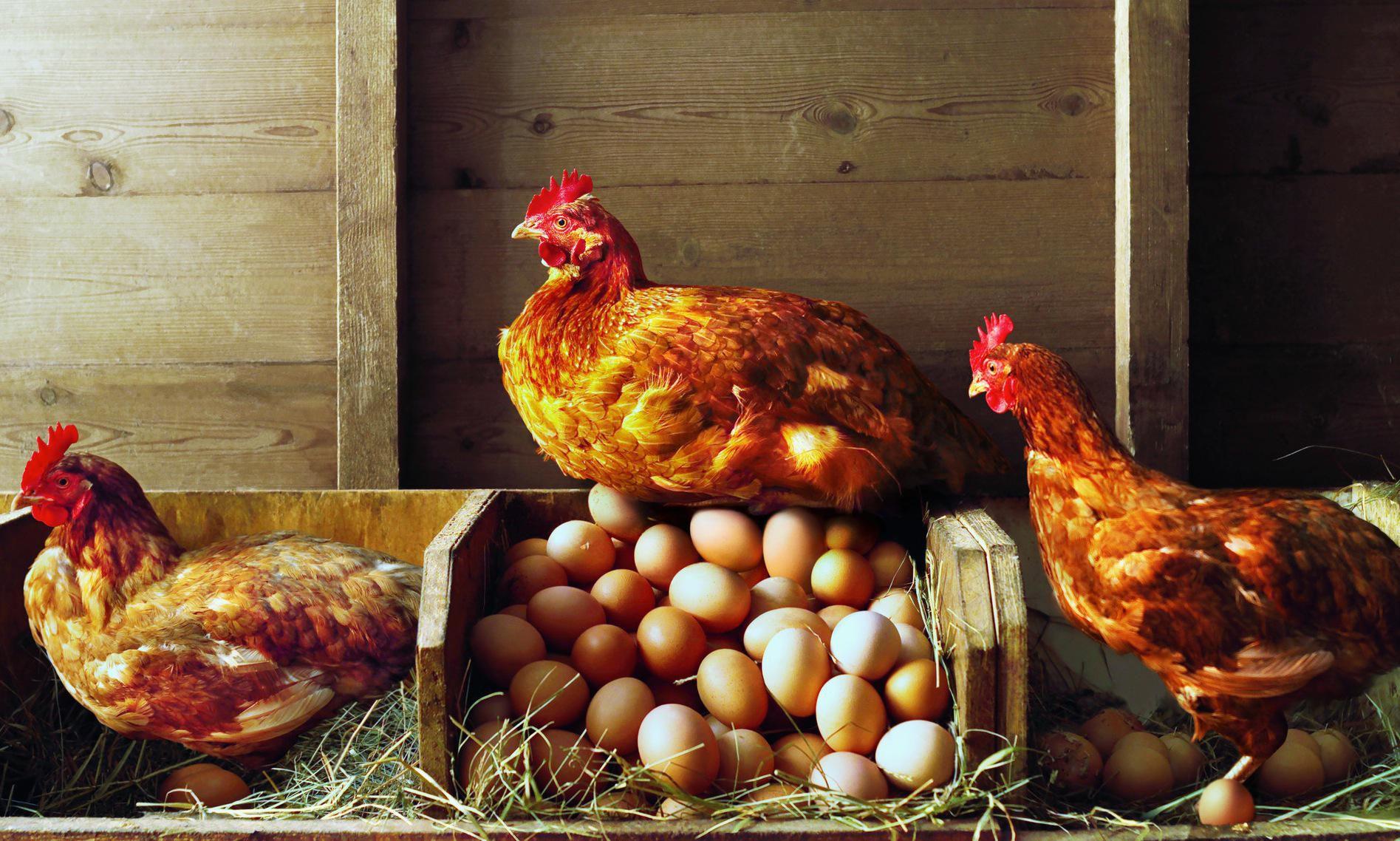 Lay Mammals Eggs All