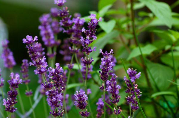 english lavender plants landscaping