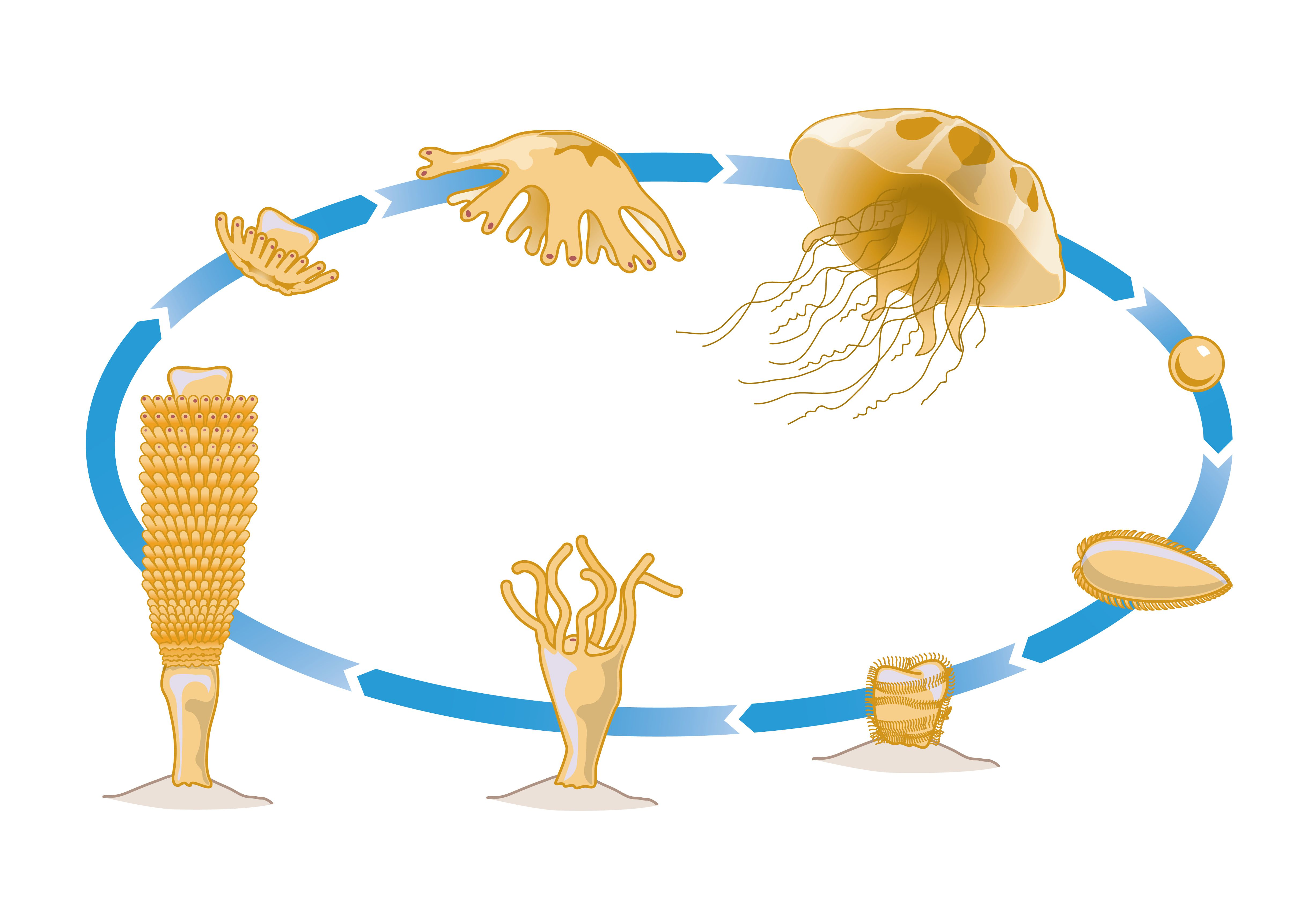 The Life Cycle Of A Jellyfish