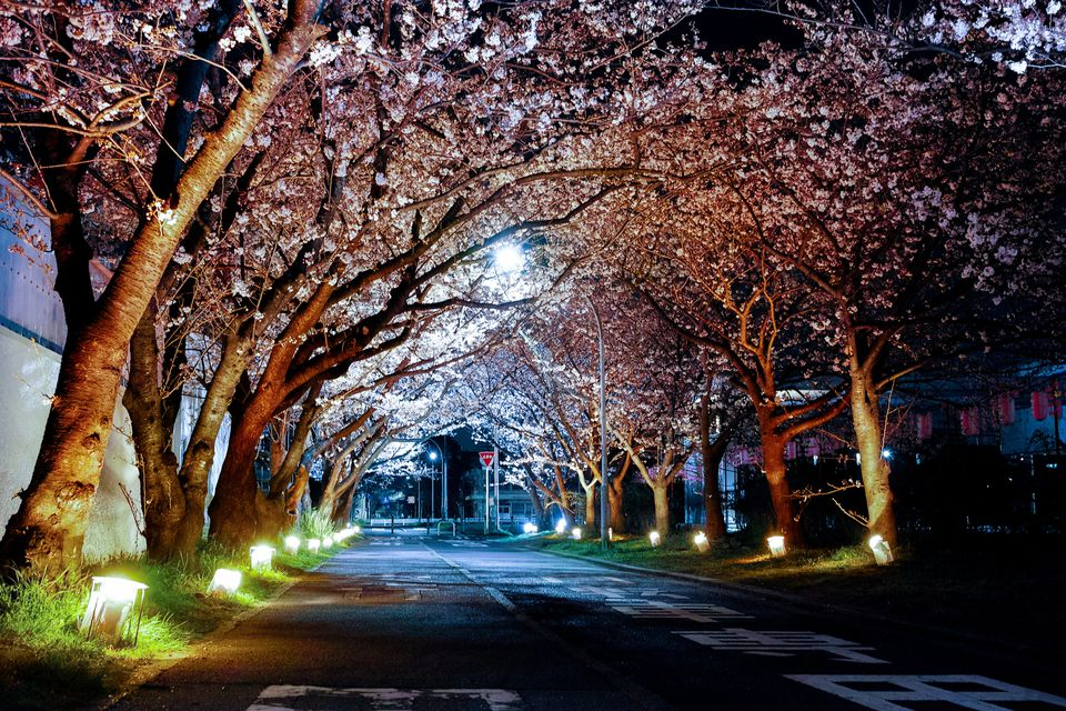 Falling Cherry Blossom Wallpaper Hd Cherry Blossoms And Iconic Sights Of Washington D C At Night
