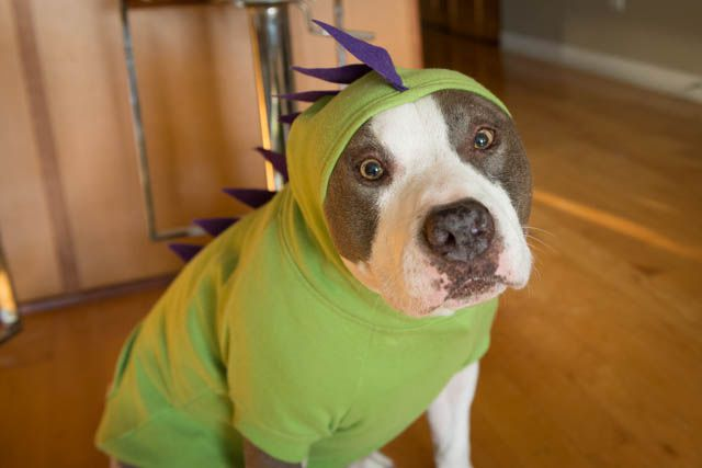 Pit bull in dinosaur costume
