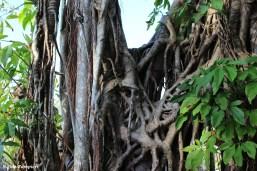 Ficusaurea00001