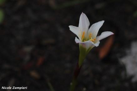 Zephyranthes simpsonii00001