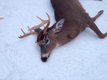 Leaddog's 7pt 134lb buck 2013