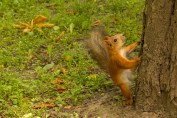 Red Squirrel in Kharkiv