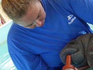 Baby Manatee @SeaWorld via @FieldTripswSue
