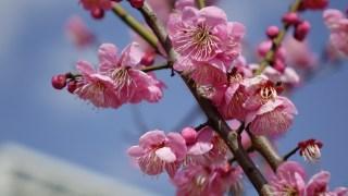 【梅の花が見ごろ】神戸 岡本梅林公園 その他、神戸市内の梅の花スポット紹介 #SONY RX10