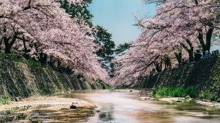 美しい川沿いに広がる「夙川公園」の桜 2017年