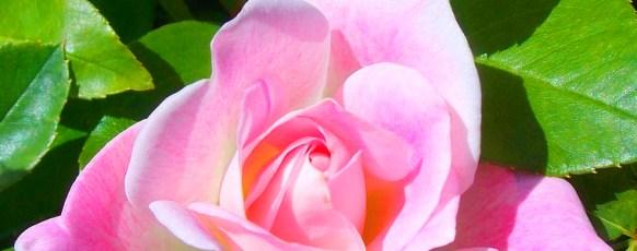 Rosen und Blütenstauden