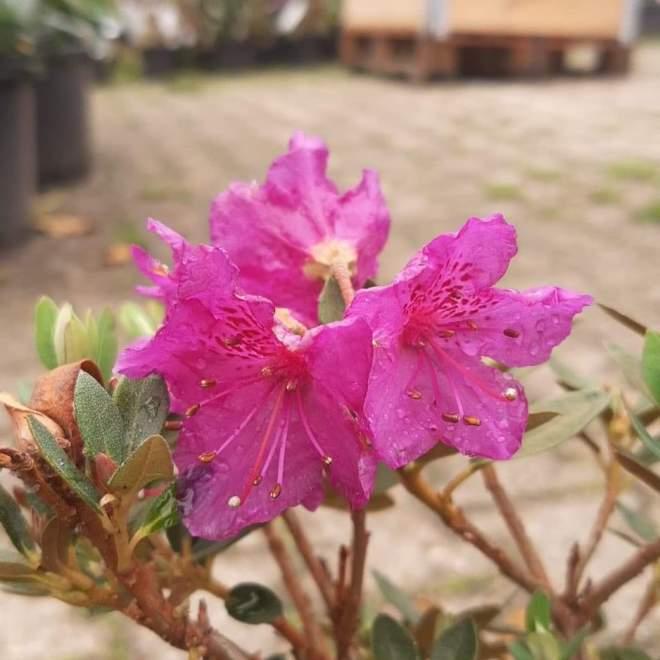 rhododendron-calostrotum-rocks-form