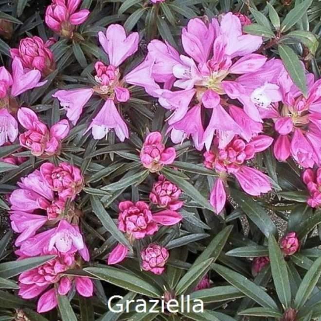rhododendron-graziella