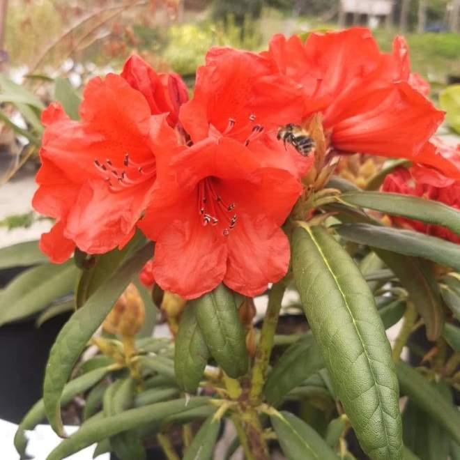 rhododendron-strigillosum
