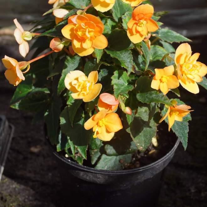 begonia-x-tuberhybrida-beluga-orange