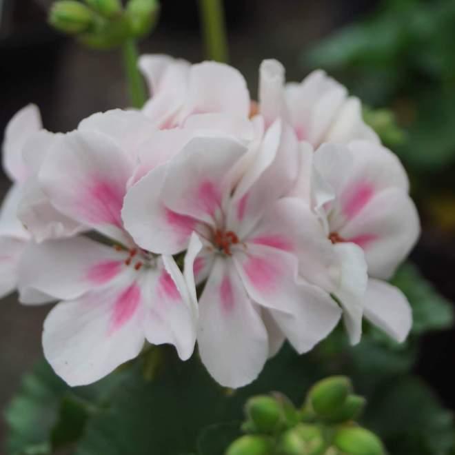 pelargonium-zonale-hybrida-savannah-white-splash