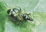 anthocoris-naebtaege