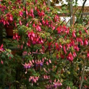 Fuchsias for very sunny Locations