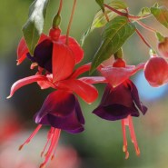 Fuchsia Mission Bells – Fuchsia of the week 2/2014