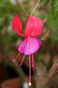 Fuchsia Silbernes Erzgebirge