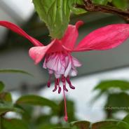 Fuchsia Blossoms in the Greenhouse in February