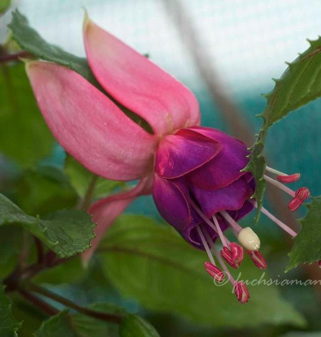 Blossoming Fuchsias in March are lovely to look at,