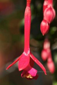 Fuchsia WALZ Bombardon