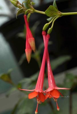 Fuchsia Zets Alpha