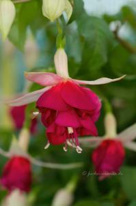 Fuchsia Aladna's Sander
