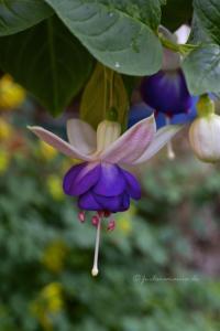 Fuchsia Blautopf