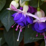 Fuchsia Blautopf – Fuchsie of the Week 40/2014