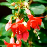 "The Fuchsia ""Uschi Willkomm"" is the Fuchsia of the Week 49/2014"