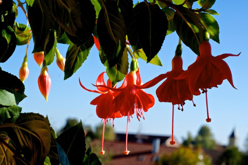 Fuchsia Uschi Willkomm