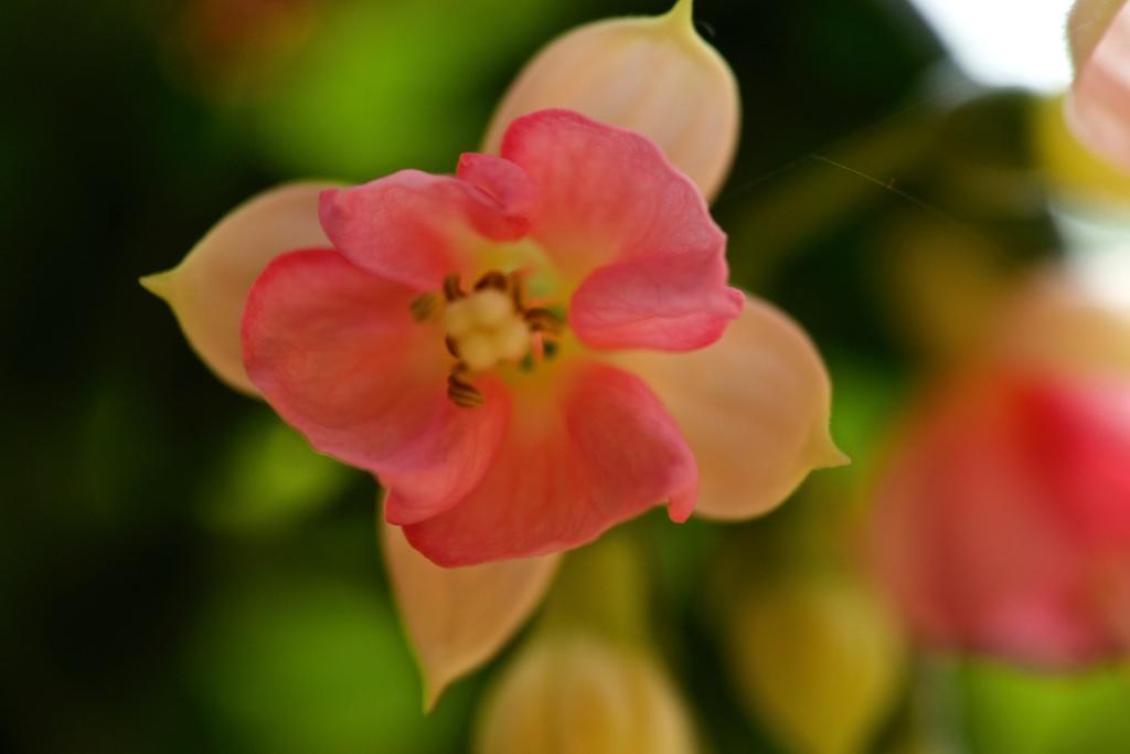Fuchsia 'Eleanor Leytham'