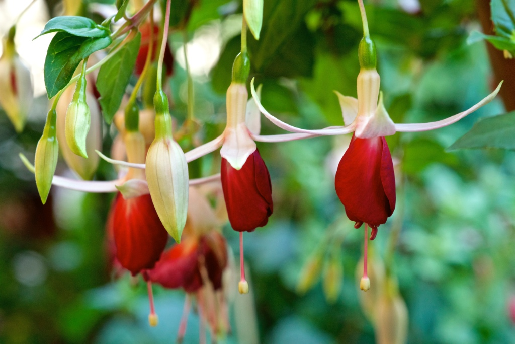 Fuchsia 'Frosted Flame'