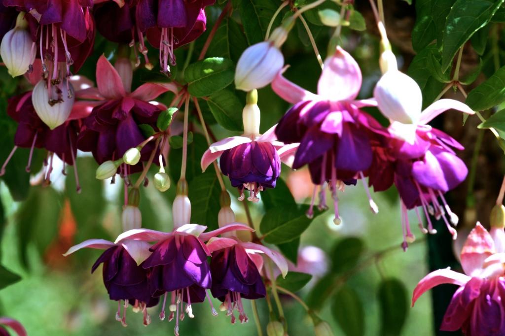 Fuchsia 'Lena'