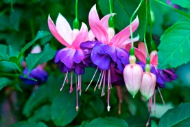 Fuchsia 'WALZ Blauwkous'